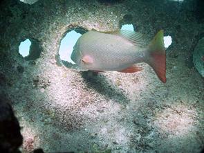 Ripopolamento ittico